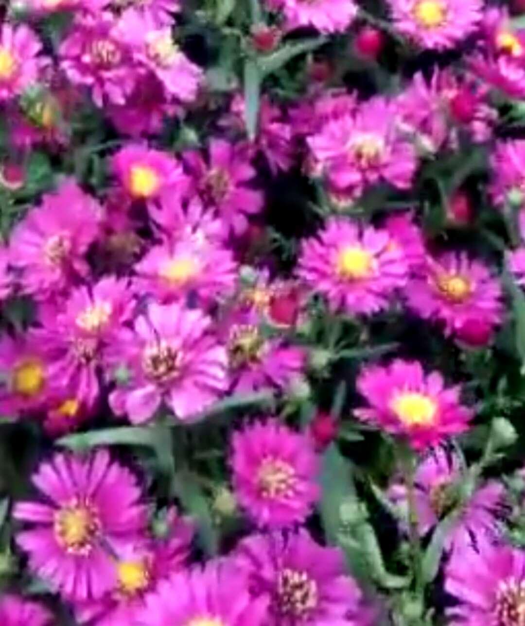 荷兰菊种植基地