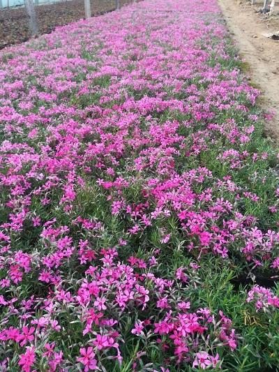 河北丛生福禄考价格-九晖花卉苗木质量好的丛生福禄考出售