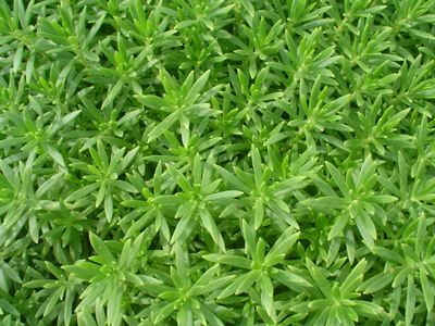 山西佛甲草基地-高品質佛甲草哪里有供應