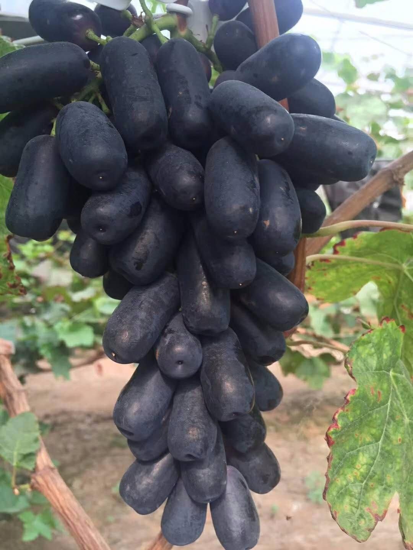 陜西甜蜜藍寶石葡萄苗價格-大量出售甜蜜藍寶石葡萄苗