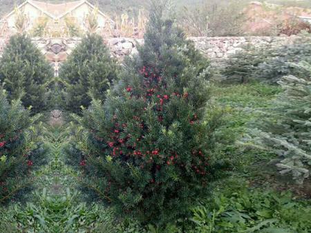 鞍山红豆杉苗哪家好-供应辽宁省优惠的红豆杉苗