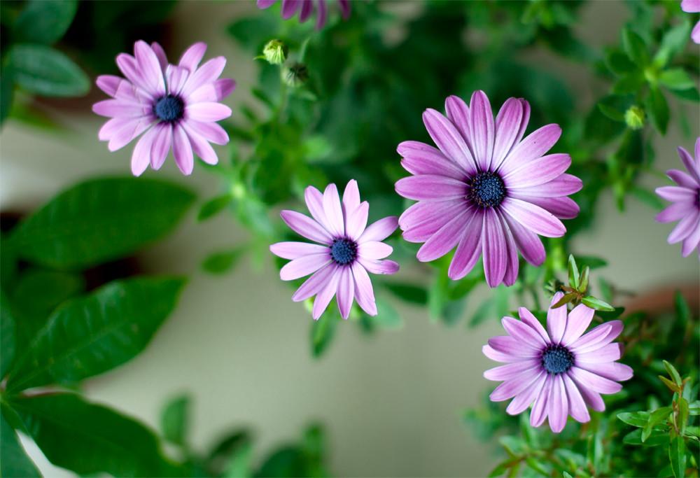 雏菊基地|雏菊种植基地