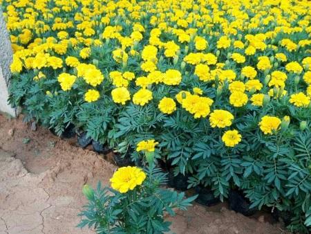 天津孔雀草种植基地-潍坊市销量好的孔雀草哪里有供应