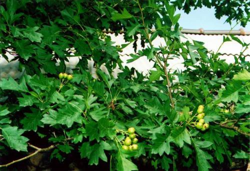 鐵嶺大榛子苗價格-來開原興海苗圃種子經銷,買優惠的大榛子苗