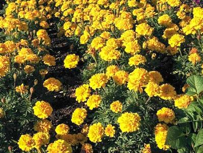 山东孔雀草行情|优良的孔雀草提供商当属景泉花卉园艺