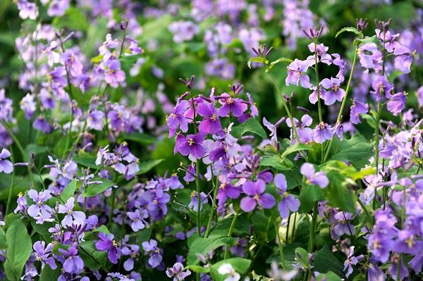 河南二月兰基地-口碑好的二月兰就在景泉花卉园艺