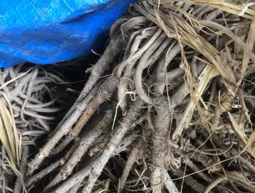丹東刺嫩芽廠家-優惠的刺嫩芽在哪買