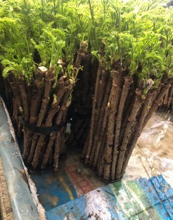 铁岭刺嫩芽哪家好-供应好用的刺嫩芽