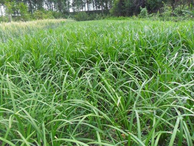 麦冬出售,麦冬供应,麦冬种植基地