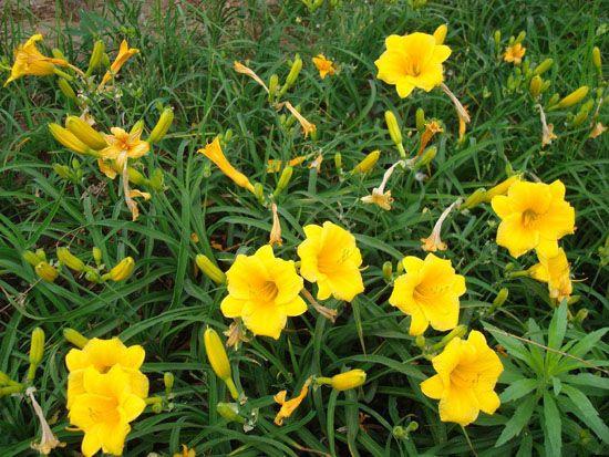 金娃娃萱草,金娃娃萱草种植基地,金娃娃萱草哪里有