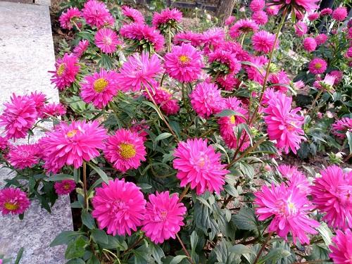 翠菊营养钵,双色盆翠菊,翠菊杯苗