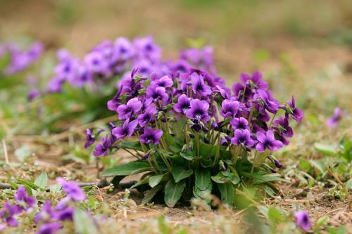 紫花地丁基地,山东紫花地丁,紫花地丁哪家好