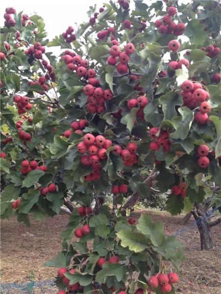 水果采摘哪里有||哪有水果采摘基地,【来金色田园准没错】