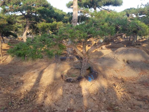 山东造型松基地 山东品种好的造型松供应