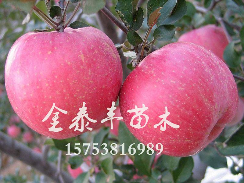 泰安苹果树苗,山东哪家苹果树苗供应商好