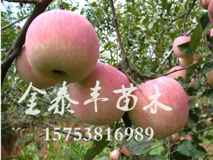 莱芜苹果树苗,山东苹果树苗供应基地