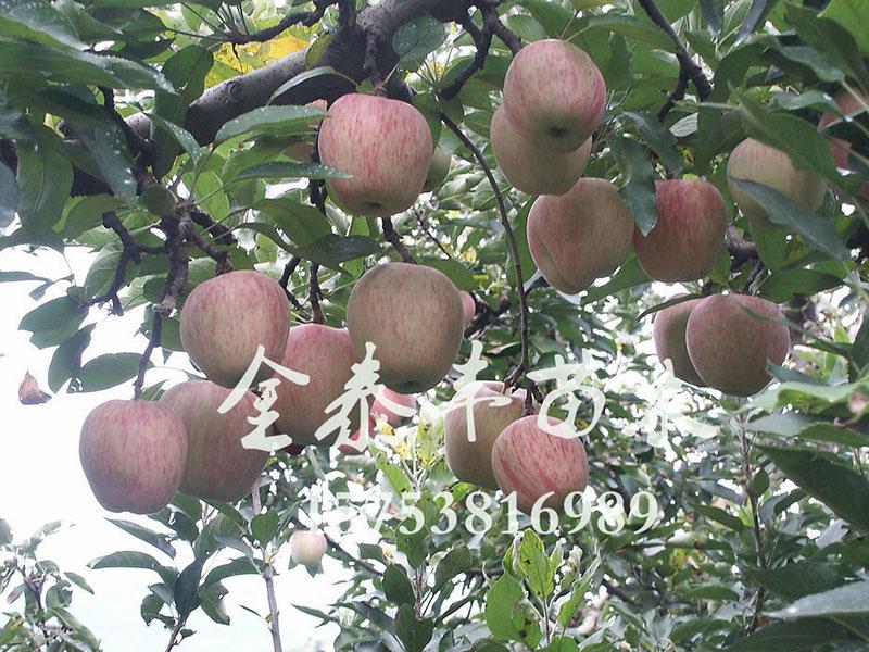 苹果树苗哪里有——山东苹果树苗供应基地