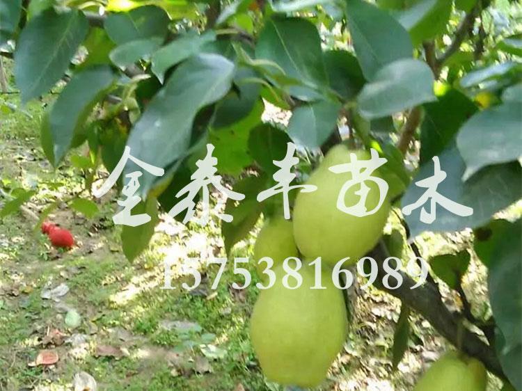 黄金梨树苗哪里有-哪里有供应苹果树苗