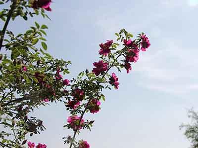 广西香精香料化妆品原料|实用的苦水玫瑰供应