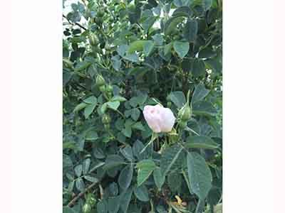 張掖玫瑰苗-蘭州供應好用的玫瑰精油