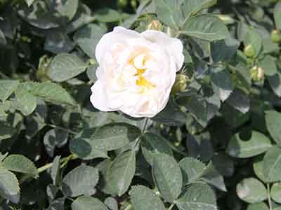 珠海香精香料化妆品原料-想买专业的苦水玫瑰-就来盛典玫瑰