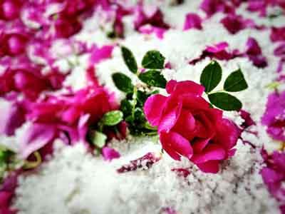 酒泉苦水玫瑰|想买价格优惠的苦水玫瑰,就来盛典玫瑰