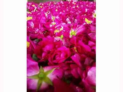 甘肅苦水玫瑰純露|甘肅可信賴的苦水玫瑰品牌