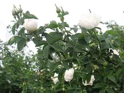 苦水玫瑰廠家直銷 苦水玫瑰精油供應商哪家好