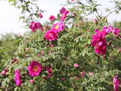 兰州苦水玫瑰纯露-供应兰州实惠的苦水玫瑰
