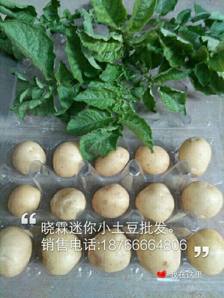 迷你土豆價格,曉霖供應劃算的迷你土豆