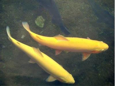 甘肃新鲜的金鳟鱼_刘家峡冷水鱼养殖基地划算的金鳟鱼供应