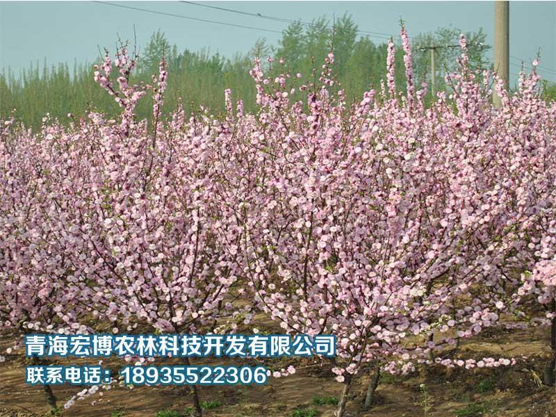 青海园林绿化公司报价|青海油松销售