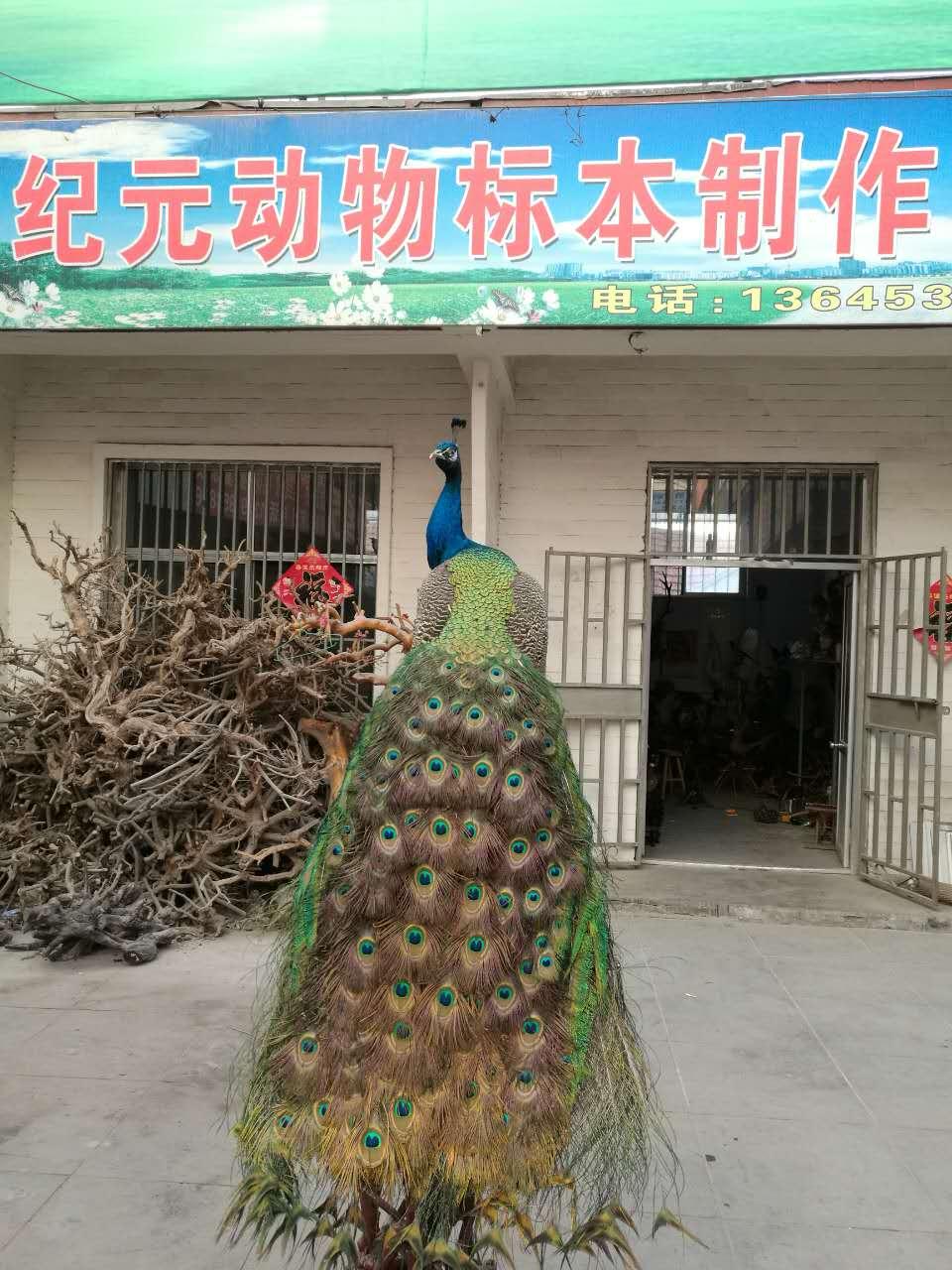 【你成功引起我的注意】山东孔雀标本#潍坊孔雀标本加工
