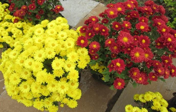 观赏菊花基地-志民花卉苗木供应实惠的造型菊花