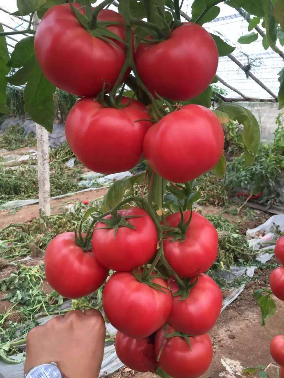 番茄种苗批发——蔬菜育苗基地——番茄苗价格