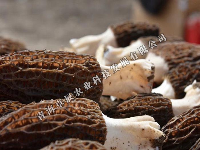 高品质羊肚菌哪里有供应-青海羊肚菌