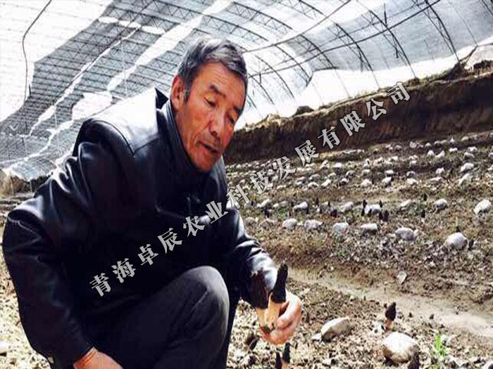 口碑好的青海羊肚菌供应商_青海卓辰农业-西宁羊肚菌价格