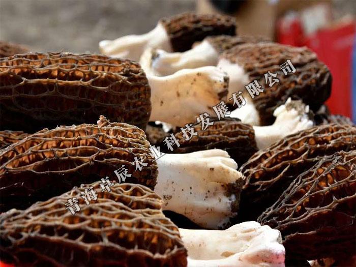 西宁知名的羊肚菌提供商|出色的羊肚菌