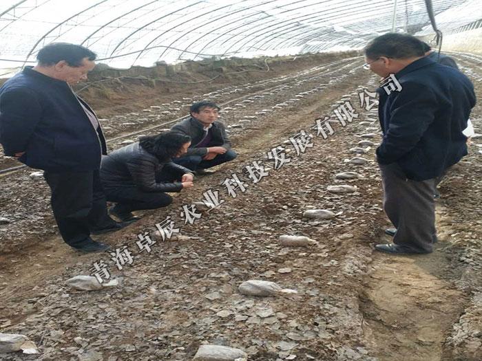 專業的羊肚菌批發商,當屬青海卓辰農業-青海羊肚菌