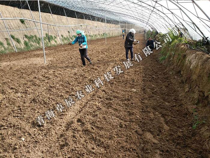 青海羊肚菌种植基地-青海羊肚菌现货供应