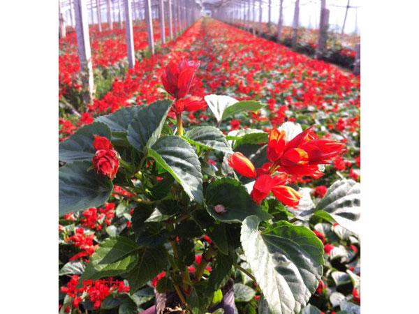 一串红基地_来丰阳花卉苗木,买划算的一串红