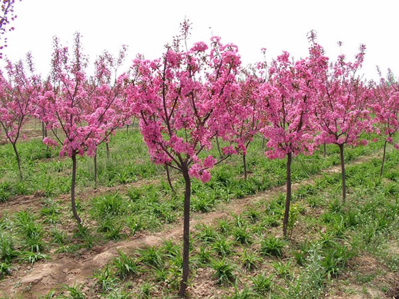 甘肃绿化苗木-兰州品牌好的花苗提供商