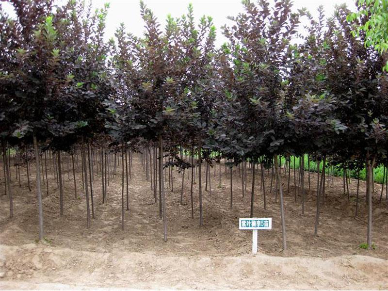 张掖苗木批发|兰州区域有信誉度的苗圃