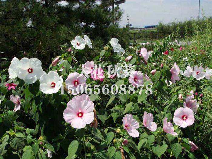 【花儿~这样美~好再来】多年生宿根花卉【青州宿根草花批发】