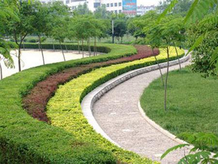 小龙柏小苗-鲁州顺诚花卉苗木_绿化苗木品种优异