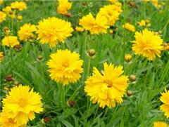 金鸡菊批发-大量供应物超所值的金鸡菊