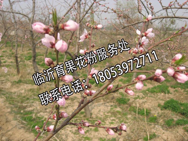 山东专业的桃树人工授粉生产基地|厂家推荐桃树花粉