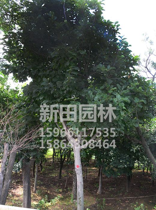 大玉兰树批发价格-口碑好的玉兰树出售