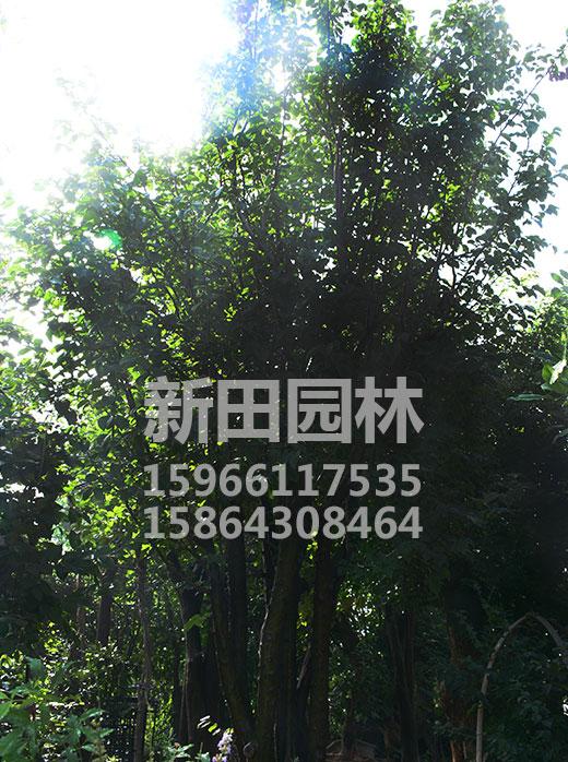 优质木瓜树价格-想要易种植的木瓜树就来新田园林