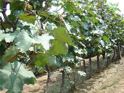 供应红提葡萄苗-哪里能买到成活率高的红提葡萄苗